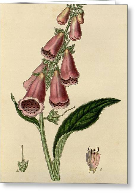 Office Plants Drawings Greeting Cards - Digitalis  Greeting Card by Philip Ralley