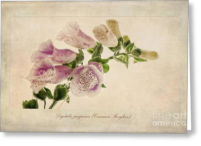 Digitalis Purpurea Aka Common Foxglove Greeting Card by John Edwards