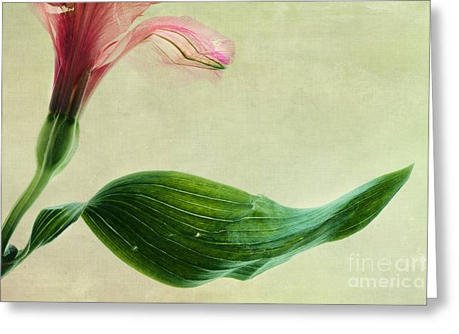 Alstroemeria Greeting Cards - dim colours II Greeting Card by Priska Wettstein