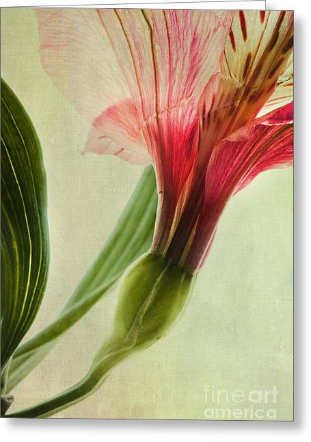 Alstroemeria Greeting Cards - Dim Colours Greeting Card by Priska Wettstein