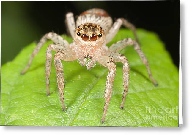 Invertebrates Greeting Cards - Dimorphic Jumper II Greeting Card by Clarence Holmes