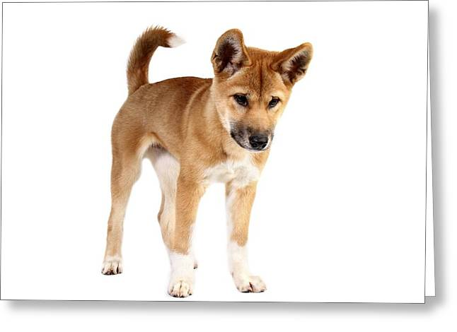 Dingo Puppy Greeting Card by Gerry Pearce