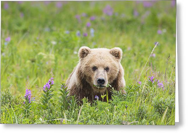 Born Adult Greeting Cards - Dining on Lupine Greeting Card by Tim Grams