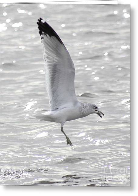 Wildlife Greeting Cards - Dining Seagull Greeting Card by Anita Oakley