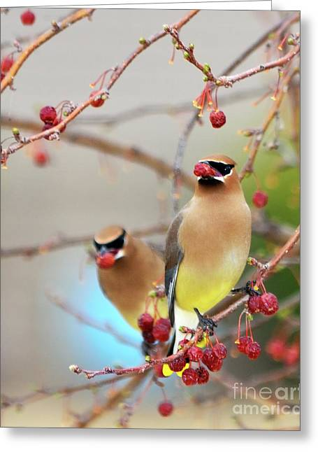 Cedar Waxwing Greeting Cards - Dinner Date Greeting Card by Betty LaRue
