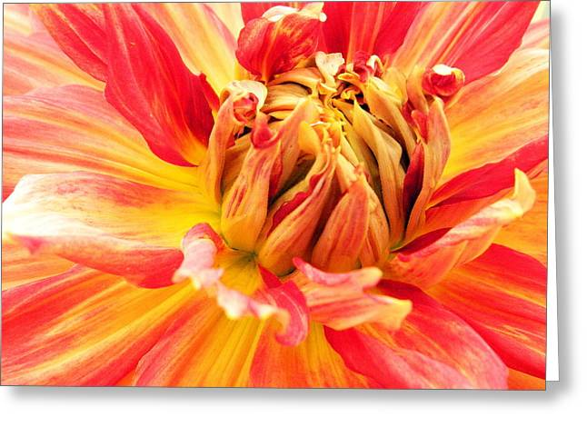 Dinner-plate Dahlia Greeting Cards - Dinner Plate Dahlia 6 Greeting Card by Kathy Barney