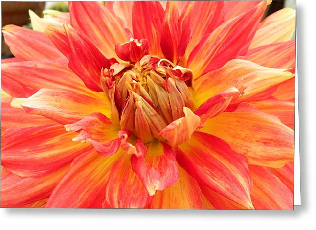 Dinnerplate Dahlias Greeting Cards - Dinner Plate Dahlia Macro Burst 2 Greeting Card by Kathy Barney