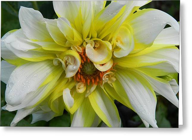 Dinner-plate Dahlia Greeting Cards - Dinner Plate Dahlia Greeting Card by Terri Waselchuk