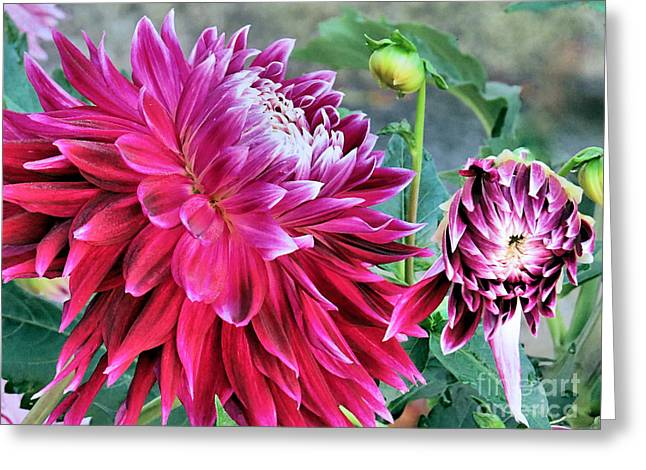 Dinner-plate Dahlia Greeting Cards - Dinner Plate Dahlias Greeting Card by Janice Drew
