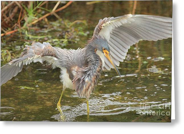 Tri-colored Heron Greeting Cards - Dinner Shuffle Greeting Card by Adam Jewell