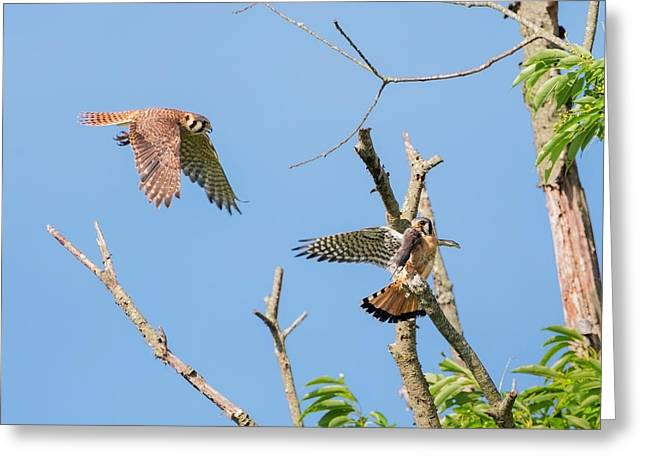 Hawk Greeting Cards - Dinner Time For The Kestrels Greeting Card by Bill  Wakeley