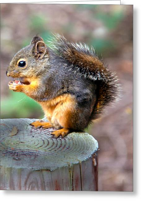 Sciurus Carolinensis Greeting Cards - Dinner Time Greeting Card by Robert Bales