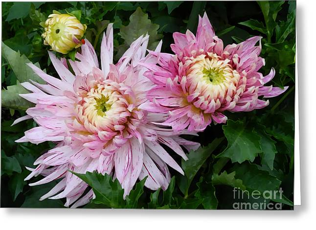 Dinnerplate Dahlias Greeting Cards - Dinnerplate Dahlia Greeting Card by Photoart BySaMi