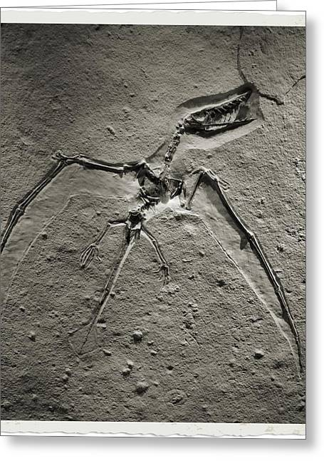 Pterosaur Greeting Cards - Pterodactyl Fossil Greeting Card by Dan Sproul