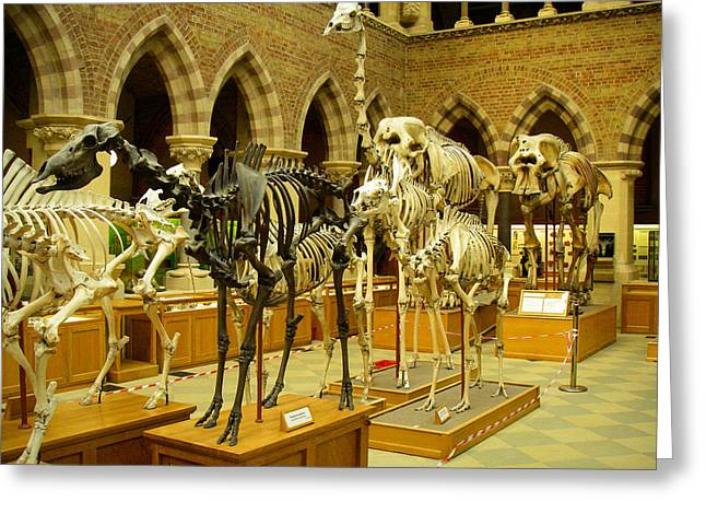 Aldous Huxley Greeting Cards - Dinosaur Skeletons in the Oxford University Museum of Natural History Oxford England Greeting Card by Robert Ford