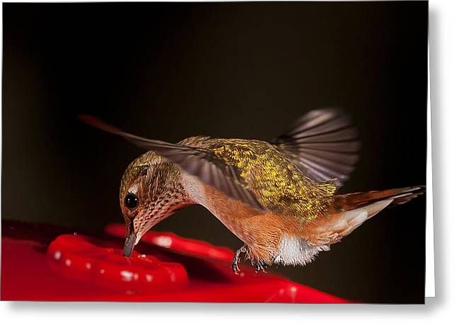 Feeding Birds Greeting Cards - Dipping Rufous Greeting Card by Jim Tobin