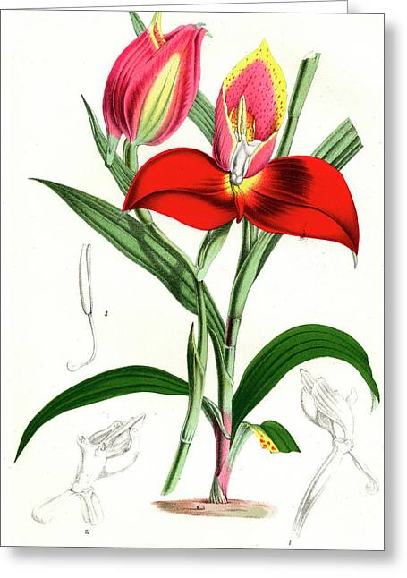 Disa Grandiflora Greeting Card by Collection Abecasis