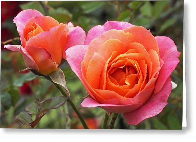 Orange Rose Greeting Cards - Disneyland Roses Greeting Card by Rona Black
