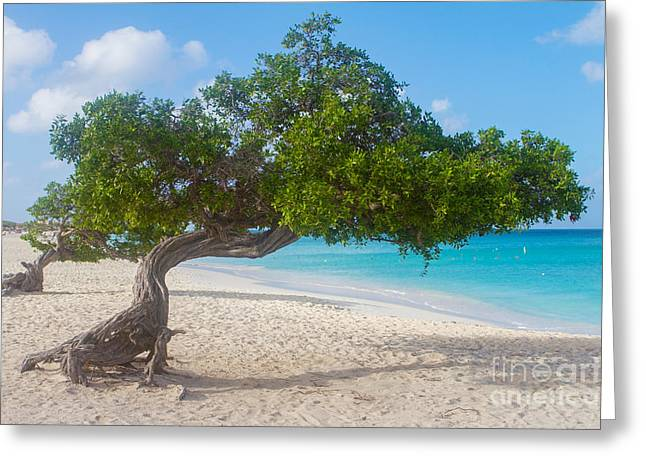 A New Focus Photography Greeting Cards - Divi Trees in Aruba  Greeting Card by A New Focus Photography