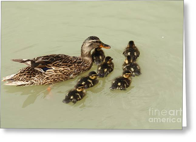 Water Fowl Greeting Cards - Divine Ducklings Greeting Card by Linsey Williams