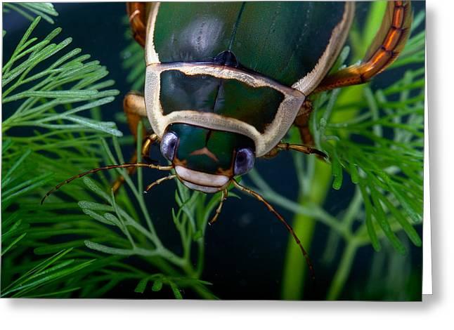 Waterlife Greeting Cards - Diving Beetle Greeting Card by Dirk Ercken