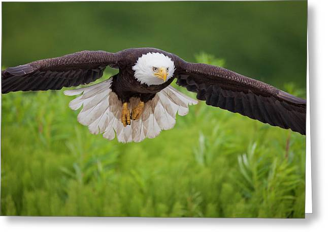 Haliaeetus Leucocephalus Greeting Cards - Diving for a Meal Greeting Card by Tim Grams