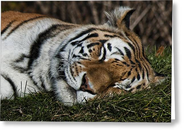 Tiger Dream Greeting Cards - Do Not Disturb Greeting Card by Steve Harrington