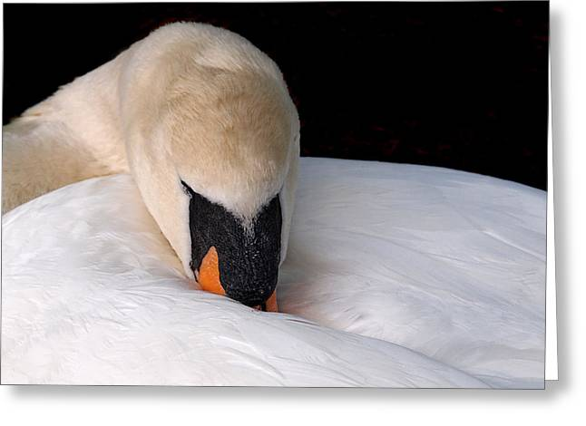 Curled Up Greeting Cards - Do Not Disturb - Swan On Nest Greeting Card by Gill Billington