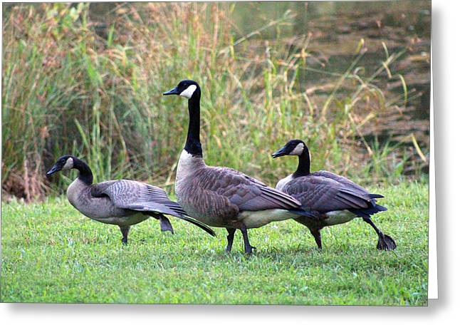 Best Goose Pictures Greeting Cards - Do The Hokie Pokie Greeting Card by Lorna Rogers Photography