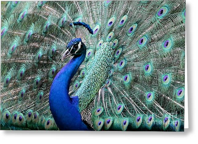 Plumed Greeting Cards - Do you Like Me Now Greeting Card by Sabrina L Ryan