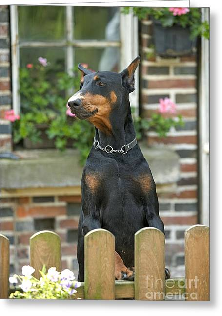 Guard Dog Greeting Cards - Doberman Pinscher Greeting Card by Jean-Michel Labat