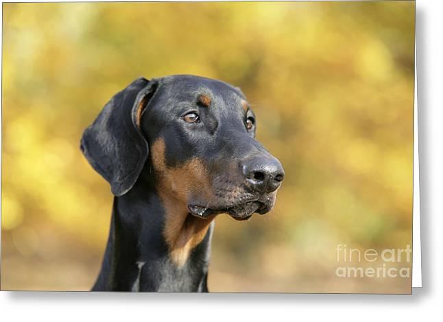 Dobermann Greeting Cards - Dobermann Dog, In Autumn Greeting Card by John Daniels