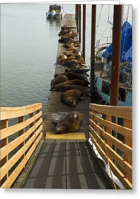 Pier Sealions Greeting Cards - Dock Sea Lions Astoria OR 1 A Greeting Card by John Brueske