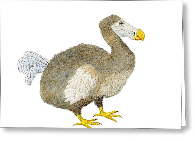 Thom Glace Greeting Cards - Dodo Bird  Greeting Card by Thom Glace