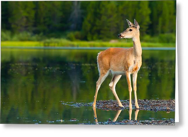 Camping Greeting Cards - Doe Greeting Card by Sebastian Musial