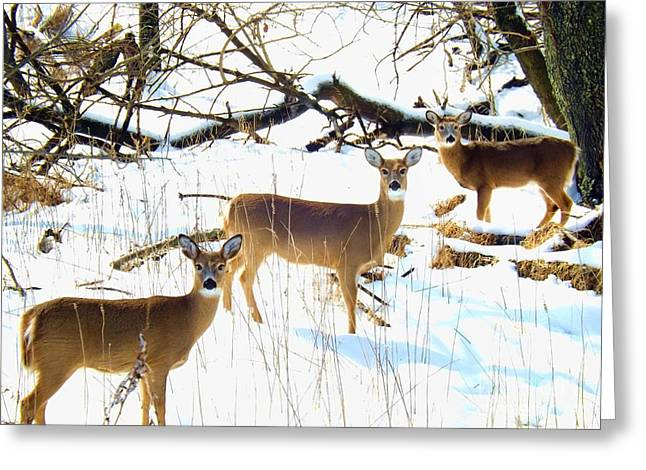 Featured Art Greeting Cards - Does In The Snow Greeting Card by Robyn King