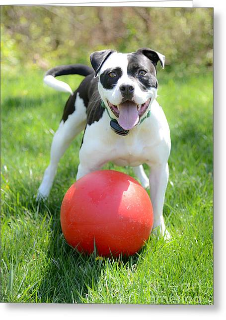 Boxer Shorts Greeting Cards - Dog and His Red Ball Greeting Card by Jt PhotoDesign