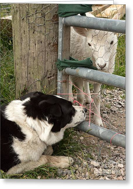 Herder Greeting Cards - Dog and Lamb Greeting Card by Iris Richardson