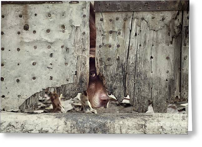 Mythja Greeting Cards - Dog behind door Greeting Card by Mythja  Photography