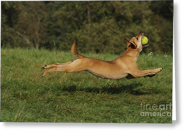 Dog Playing Ball Greeting Cards - Dog Catching Ball Greeting Card by Brinkmann/Okapia
