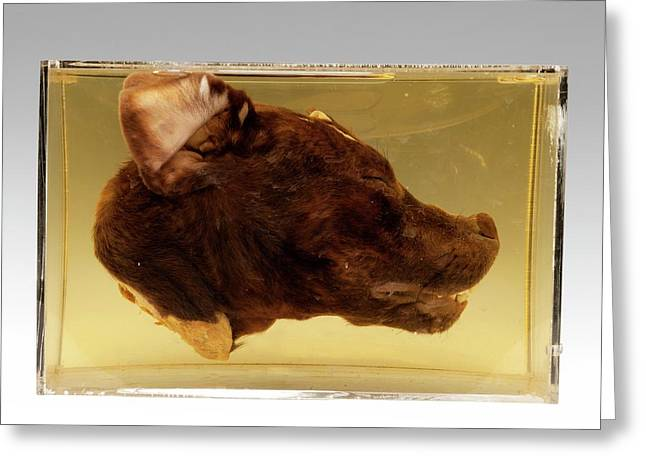 Dog Head Greeting Card by Ucl, Grant Museum Of Zoology