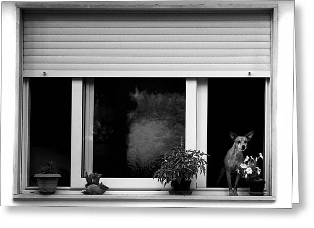 Guarding Greeting Cards - Dog in a window Greeting Card by Fabrizio Troiani