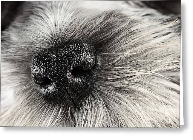 Cute Schnauzer Greeting Cards - Dog Nose  Greeting Card by Stephanie Frey