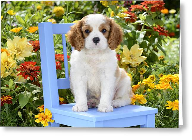 Spaniel Greeting Cards - Dog On Blue Chair Greeting Card by Greg Cuddiford