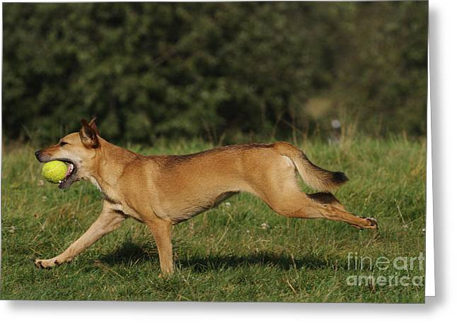 Dog Playing Ball Greeting Cards - Dog Playing Fetch Greeting Card by Brinkmann/Okapia