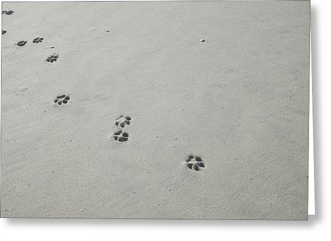 Dog Trots Photographs Greeting Cards - Dog prints in the sand Greeting Card by Rodger Shagam