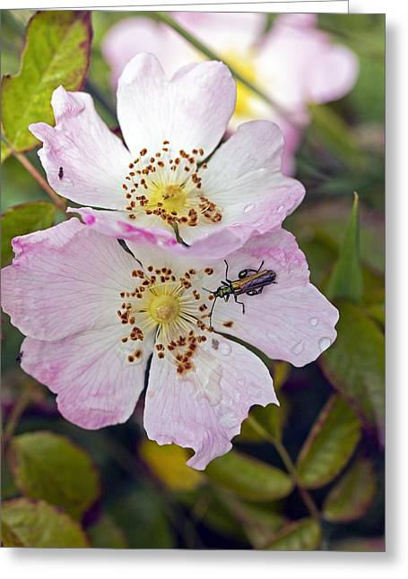Nobilis Greeting Cards - Dog Rose (Rosa canina) Greeting Card by Science Photo Library