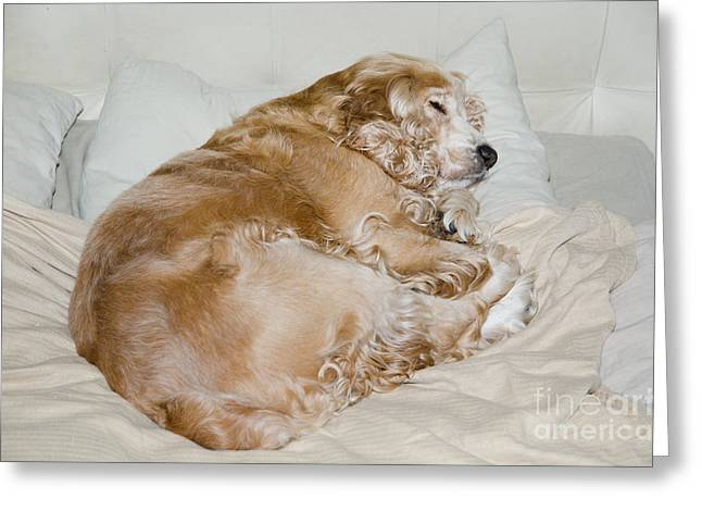 Tired On Bed Greeting Cards - Dog sleeping Greeting Card by Mats Silvan