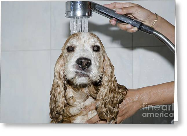 Shower Head Greeting Cards - Dog taking a shower Greeting Card by Mats Silvan