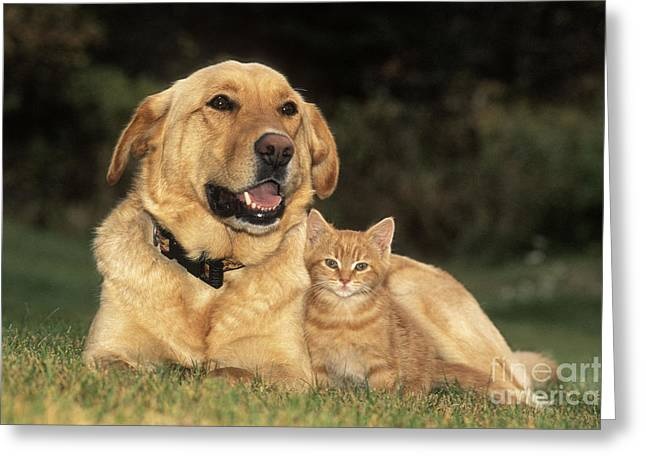 Lab Mix Greeting Cards - Dog With Kitten Greeting Card by Rolf Kopfle